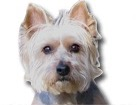 Westie Silky Terrier for dog ecards
