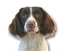 Springer Spaniel for dog ecards