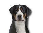 Greater Swiss Mountain Dog for dog ecards