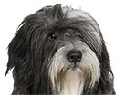 Tibetan Terrier for dog ecards