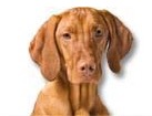 Vizsla for dog ecards