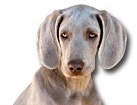 Weimaraner for dog ecards