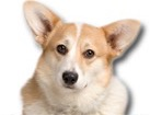 Welsh Corgi for dog ecards