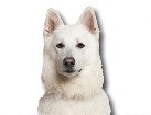 White Swiss Shepherd for dog ecards