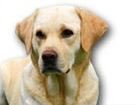Yellow Lab for dog ecards