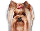 Yorkshire Terrier for dog ecards