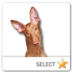 Pharaoh Hound for dog ecards