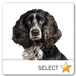 Russian Spaniel for dog ecards