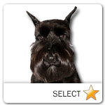 Miniature Schnauzer for dog ecards