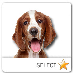 Welsh Springer Spaniel for dog ecards