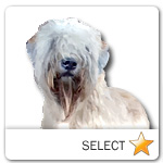Soft Coated Wheaten Terrier for dog ecards