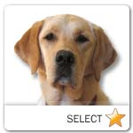 Yellow Labrador Retriever for dog ecards