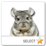 Chinchilla for pet ecards