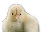 Baby Chick for pet ecards