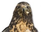 Black Chested Buzzard Eagle for pet ecards