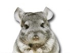 Chinchilla for dog ecards