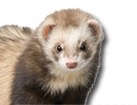 Ferret for dog ecards