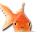 Goldfish for pet ecards