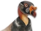 King Vulture for pet ecards