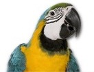 Blue Yellow Macaw for pet ecards