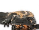 Laos Warty Newt for pet ecards