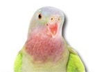 Parakeet for pet ecards