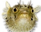 Porcupine Fish for dog ecards