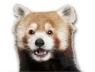 Red Panda for dog ecards