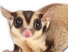 Sugar Glider for pet ecards